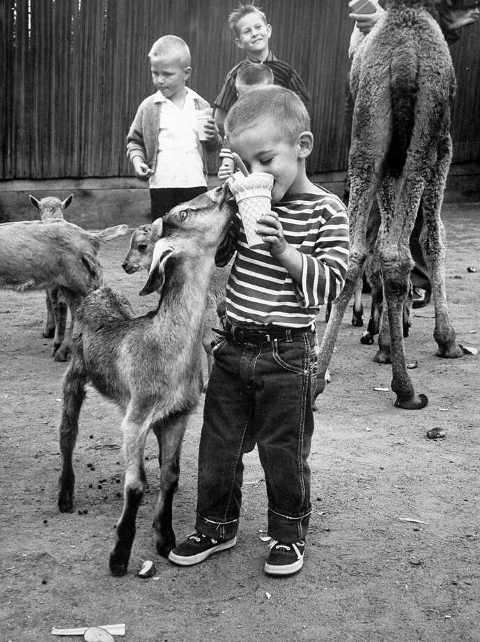 Goats are famous for eating anything — especially ice cream. Photo: Allan Grant, Time & Life Pictures/Getty Image / Time Life Pictures
