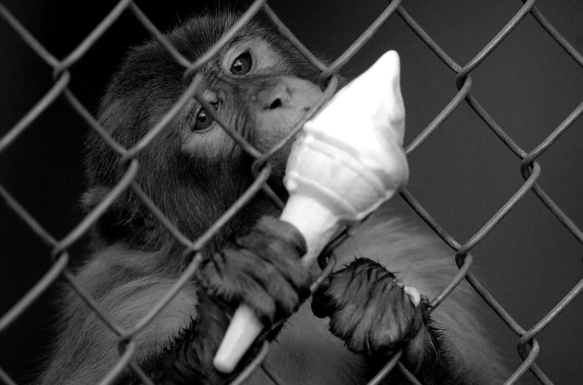 Ice cream is the only way this monkey can get through summer in a Pakistani zoo.