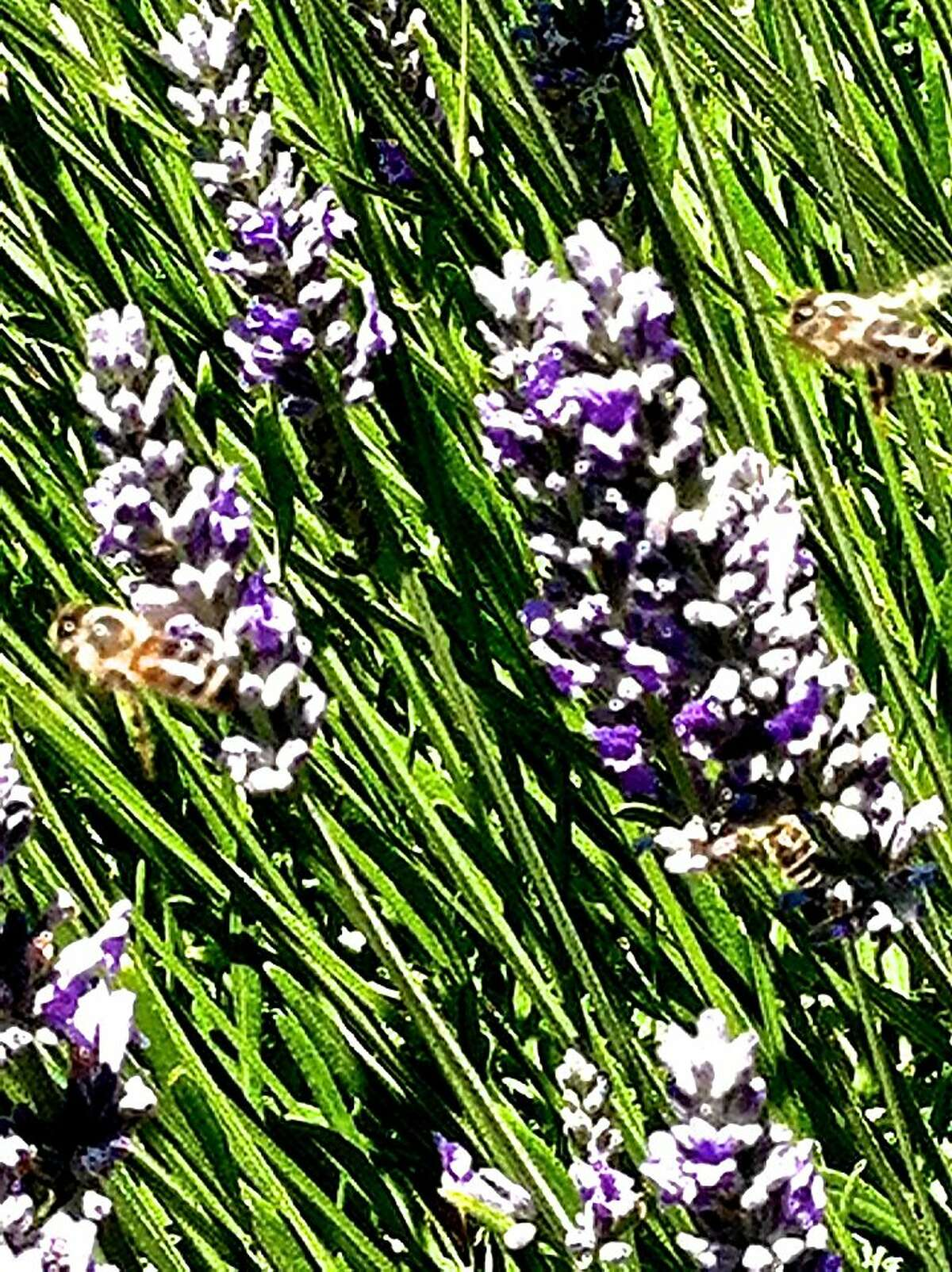 A closeup look at blooming lavender in Carmel Valley Ranch reveals plenty of busy honeybees, predominantly the golden-colored Italian bees favored for their high productivity and calm disposition. The resort's hives also include grayer Karnolian bees (a Slovenian breed) and Russian-Karnolian bees, a hardy hybrid.
