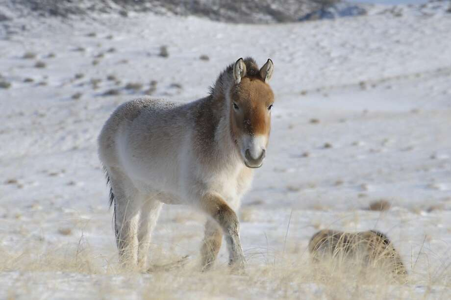 A Przewalski's horse, the only truly wild and untamed horse known today, is shown in Khomyntal, western Mongolia. Its genes have been studied and showed no detectable mixture of genes from any other breeds. Photo: Claudia Feh, Associated Press