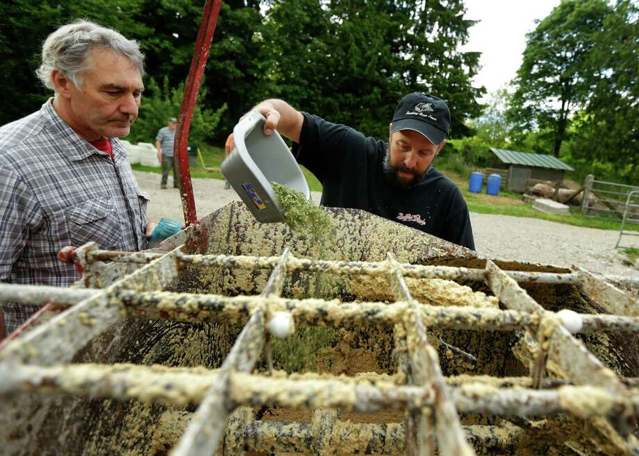 Jeremy Gross, right, adds leaves, stems, and other byproducts of medical marijuana to a feed mixer, Tuesday, June 18, 2013 on his farm in Snohomish, Wash., as butcher William von Schneidau, left, looks on. By feeding the pigs pot, Gross is trying to produce pork products with a unique savory taste. (AP Photo/Ted S. Warren) ORG XMIT: WATW202 Photo: Ted S. Warren, AP / AP