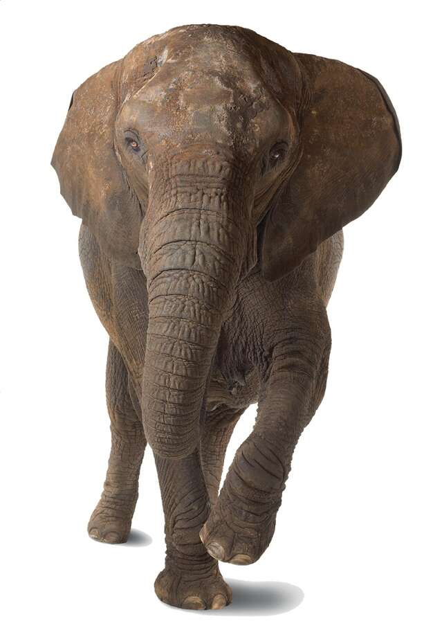4The elephant is the only animal with 4 knees.  source: tinyurl.com/hl13elephant