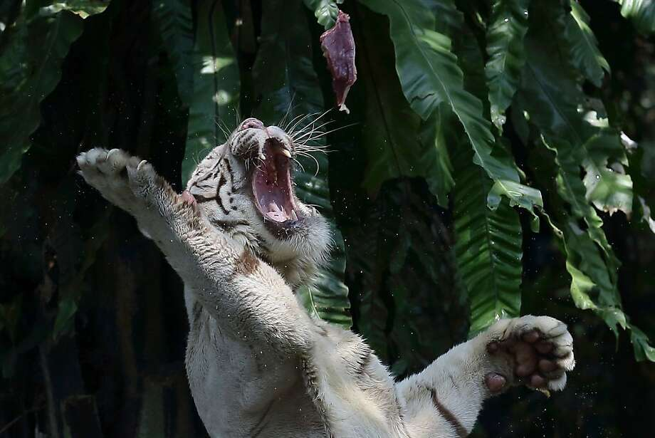 Dinner time at the Singapore Zoo is often a game of catch. Photo: Suhaimi Abdullah, Getty Images