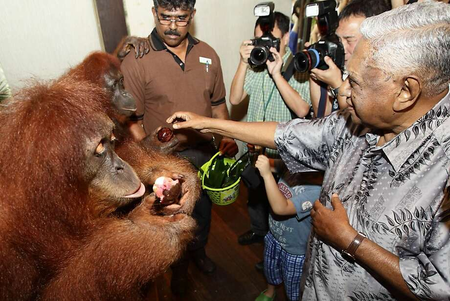 Gee, thanks, Mr. President:S.R. Nathan, former president of Singapore, feeds orangutans during the Singapore Zoo's birthday bash. We assume it's fruit, even though it looks like a Neapolitan ice cream puff. Photo: Suhaimi Abdullah, Getty Images