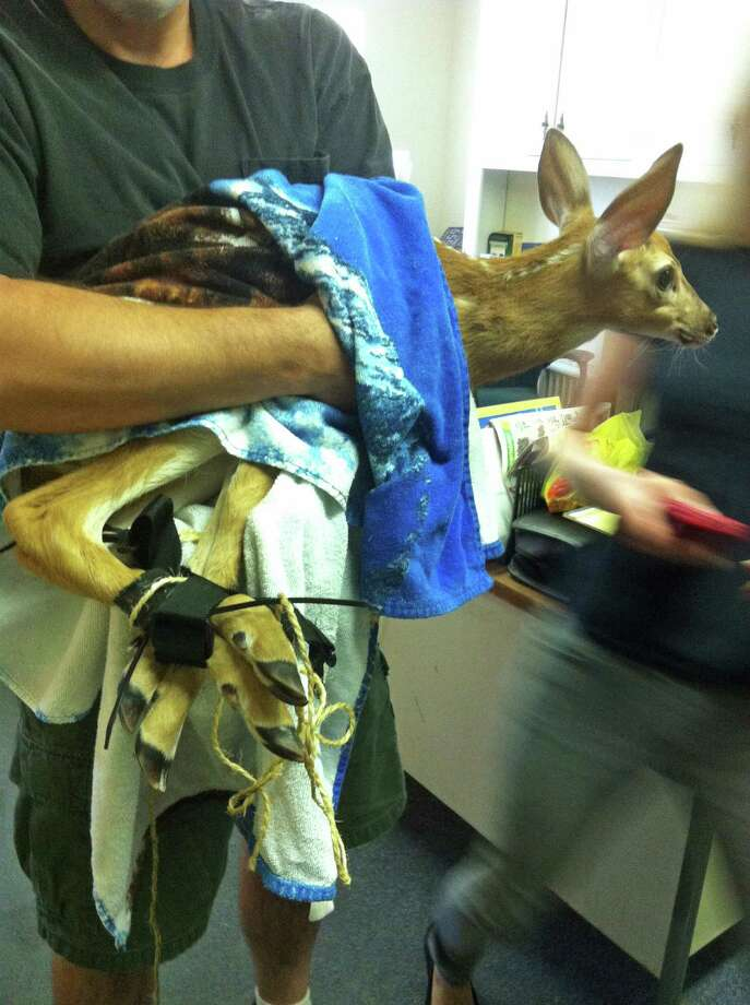 A fawn is held by a wildlife rehabilitator after being hog-tied and possibly beaten. Photo: Contributed Photo