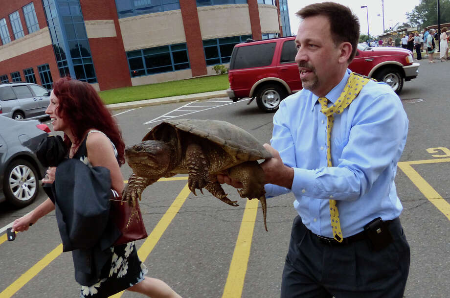 A school official removes a snapping turtle away from families leaving Seymour High School's 126th Annual Commencement in Seymour, Conn. on Thursday June 27, 2013. Photo: Christian Abraham / Connecticut Post