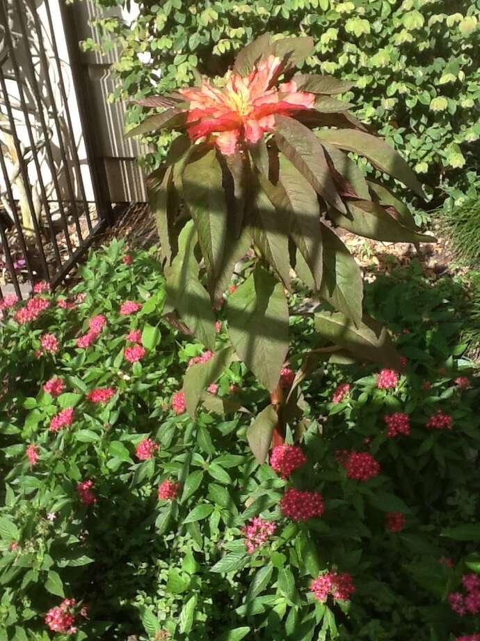 Reseeding amaranthus adds warm-season color. Photo: Courtesy Photo
