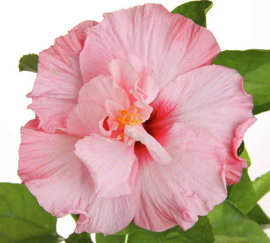 Tropicals take your back yard to another latitude. Here, Tropic Escape South Pacific Sipper hibiscus. (Courtesy Suntory/MCT) Photo: HANDOUT, HO / MCT