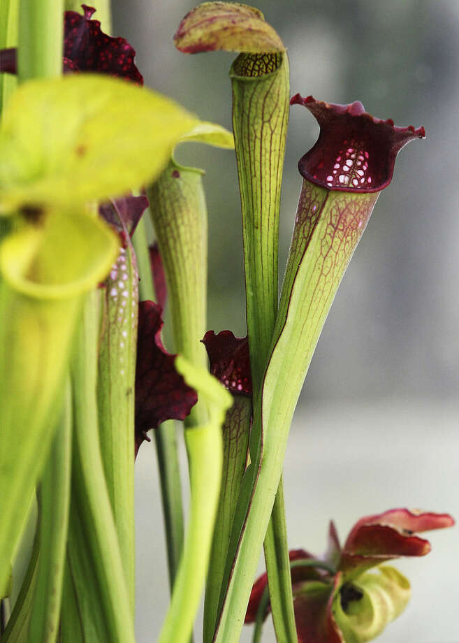 Pitcher plants are part of a new exhibit at the San Antonio Botanical Garden. Photo: Kin Man Hui / San Antonio Express-News