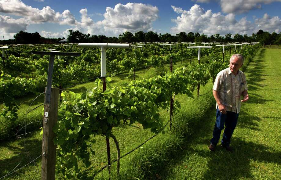 Raymond Haak inspects grapevines at Haak Vineyards & Winery. His passion for winemaking took root when he received a gift of grapevines from his wife, Gladys. Photo: J. Patric Schneider, Freelance / © 2013 Houston Chronicle