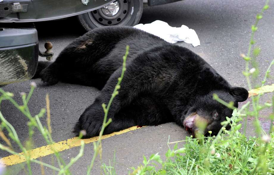 A bear that was hit and killed by a truck on Route 7 in New Milford, Conn., lies in the road Friday, June 28, 2013. Photo: Carol Kaliff / The News-Times