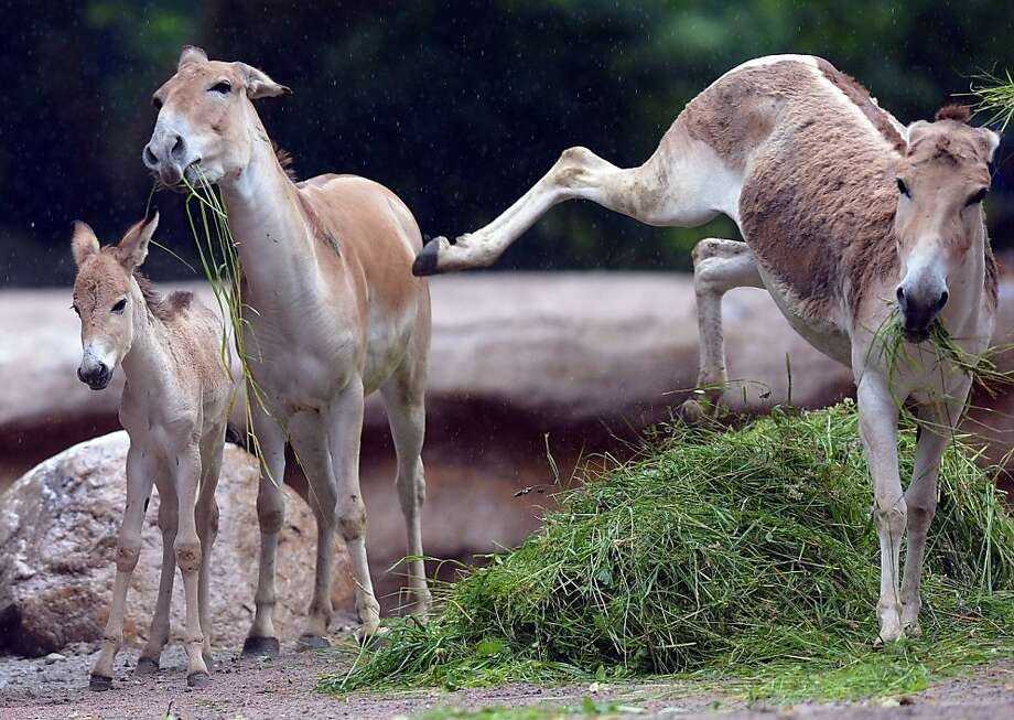 It's MY pile of grass: An onager is in no mood to share the wealth at the Tierpark Hagenbeck zoo in Hamburg, Germany. Photo: Axel Heimken, AFP/Getty Images
