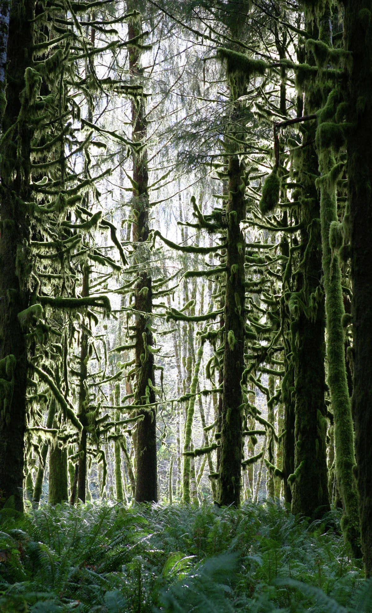 Moss grows on trees in a dense forest in Olympic National Park.