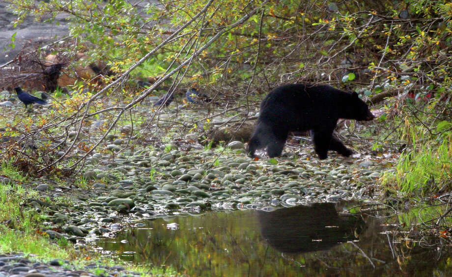 A black bear walks away after feasting on a dead elk  along the northwest edge of Lake Quinault. Photo: JOSHUA TRUJILLO, SEATTLEPI.COM