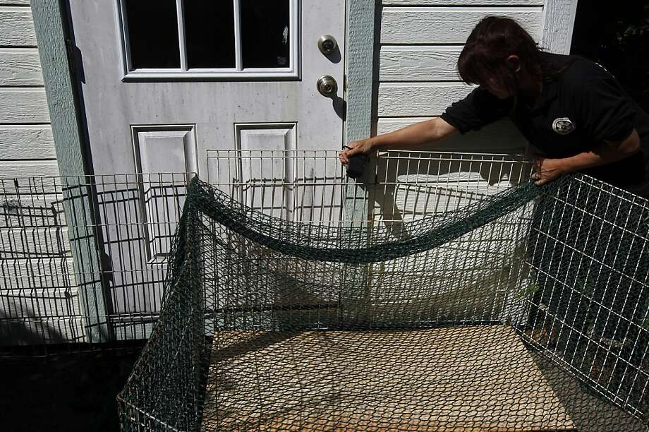 Rebecca Dmytryk holds netting and fence set up as a trap to capture a wayward yellow-bellied marmot. Photo: Rohan Smith, The Chronicle