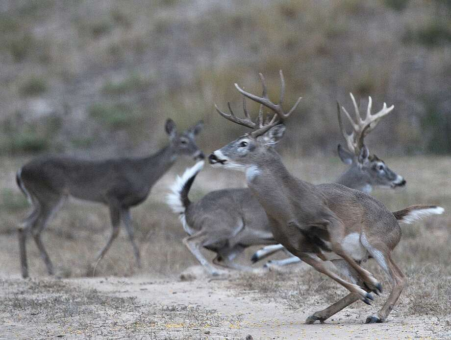 Startled deer scamper at a ranch in South Texas. Land owners in many parts of Texas may have concerns about protecting deer hunting when they are leasing their property for oil and natural gas exploration and production. Photo: Billy Calzada, Staff / SAN ANTONIO EXPRESS-NEWS