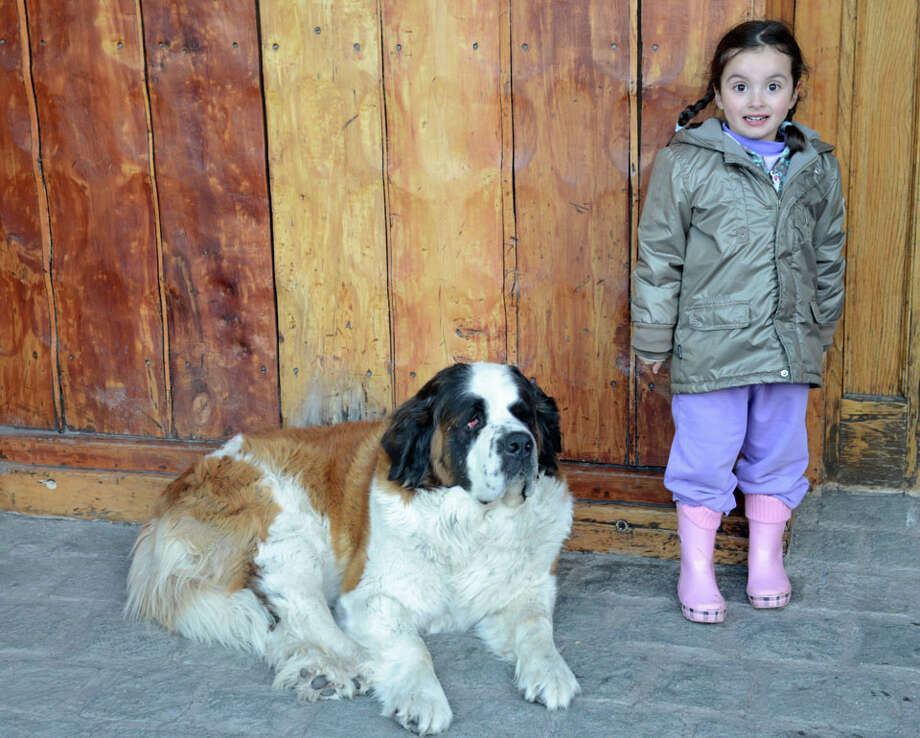 A visiting kid makes friends with Portillo's resident St. Bernard.