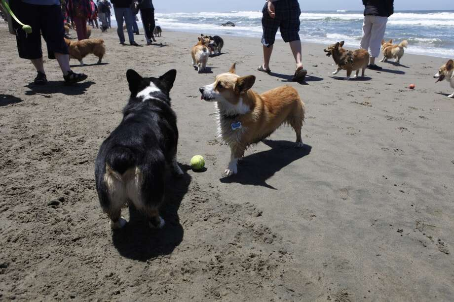 'And here I was, thinking I was the only corgi in town!' Around 40 corgis gathered at Fort Funston in San Francisco June 22 for an annual meetup of stubby legs and big ears.
