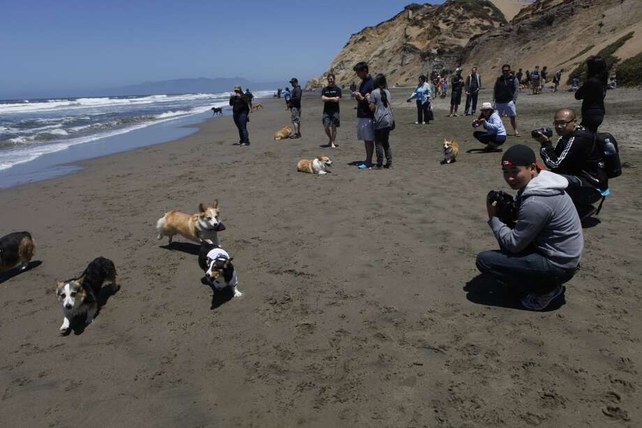 The corgis were accompanied by just as many proud corgi parents, who dote on their low-rider pets. 'Before I got (Mickey), I was checking corgiaddict.com on a daily basis,' said Jimmy Tran, 24, of Berkeley (not pictured). 'It was inevitable that we'd get a corgi.'