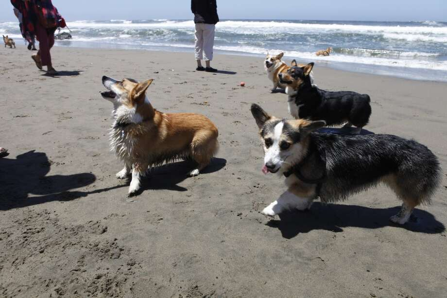 Welsh corgis come in two varieties -- Pembroke and Cardigan -- and were originally bred in Wales for herding purposes on small farms with ducks, geese and small cattle, though corgi owner Marley Habel of El Cerrito joked her friends often ask, 'What do they herd? Guinea pigs?'