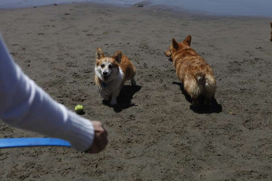 Why does the Internet love corgis? 'Because corgis are genetic dwarves, they literally never grow up and look like puppies forever,' said Deanna Oleske, 28, of Houston, who runs www.corgiaddict.com. 'Their cuteness is permanent.'