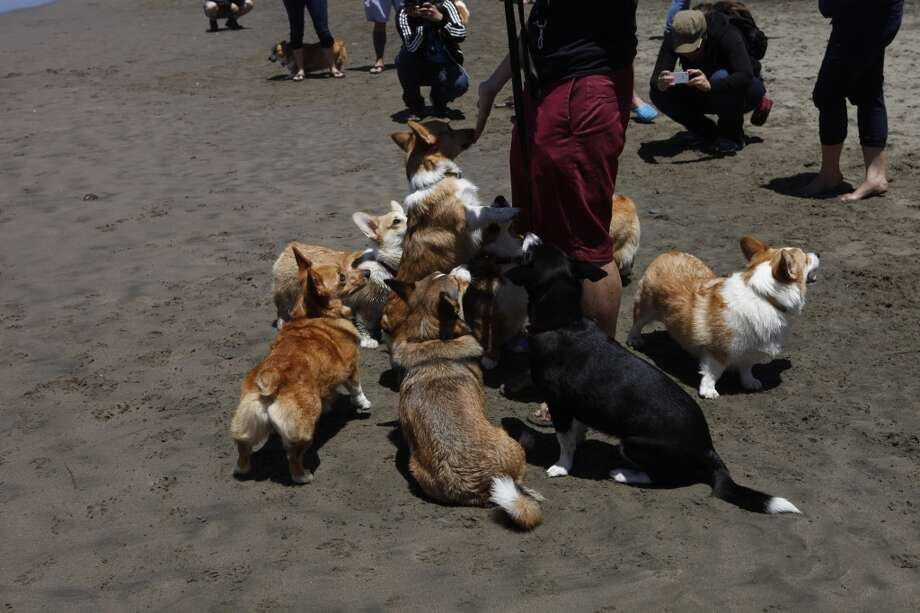 Breeders say corgis also have a spirited temperament -- a big dog that doesn't realize it's in a little dog's body.