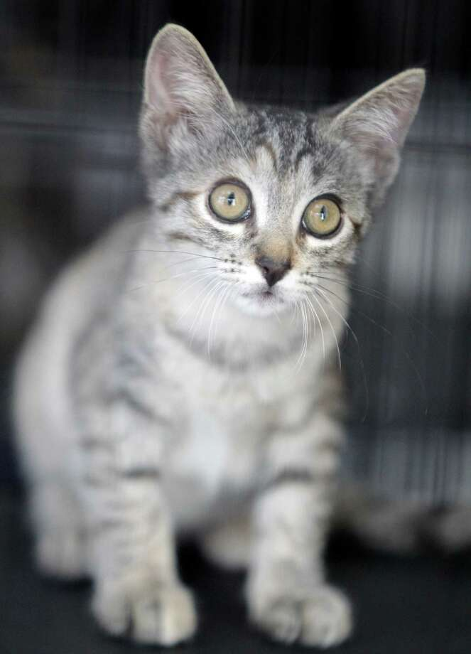 A kitten waits in cage during BARC's second Annual Bow Wow Meow Luau adoption event at CityCentre, 822 Town & Country Blvd., Saturday, June 29, 2013, in Houston.  More than 80 puppies, dogs, cats and kittens were available for adoption. Photo: Melissa Phillip, Houston Chronicle / © 2013  Houston Chronicle