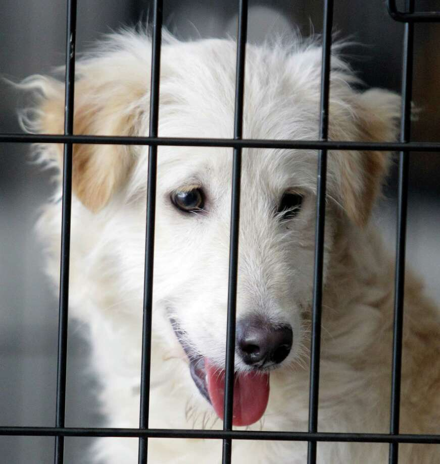 A dog named Benjy waits in cage during BARC's second Annual Bow Wow Meow Luau adoption event at CityCentre, 822 Town & Country Blvd., Saturday, June 29, 2013, in Houston.  More than 80 puppies, dogs, cats and kittens were available for adoption. Photo: Melissa Phillip, Houston Chronicle / © 2013  Houston Chronicle