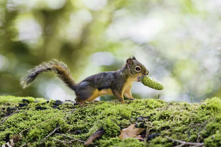 Douglas squirrel (Tamiasciurus douglasii) with a cone in its mouth Photo: Konrad Wothe, Getty Images/LOOK / LOOK