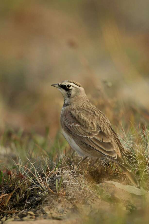 Horned lark (Eremophila alpestris) Photo: Jared Hobbs, Getty Images/All Canada Photos / All Canada Photos