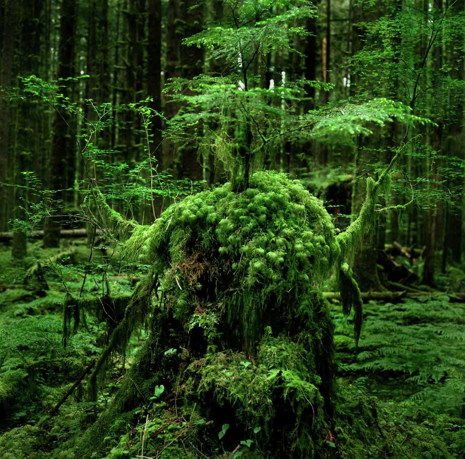 Old stumps of Hoh rainforest Photo: Zeb Andrews, Getty Images/Flickr RF / Flickr RF