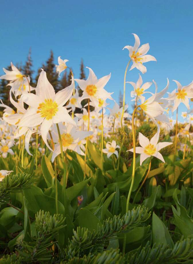 Avalanche lilies (Erythronium montanum) Photo: Danita Delimont, Getty Images/Gallo Images / Gallo Images