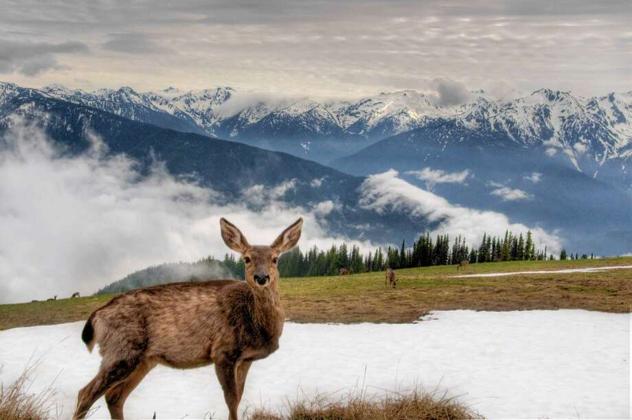 A deer at Hurricane Ridge Photo: Meleah Reardon Photography, Getty Images/Flickr RF / Flickr RF