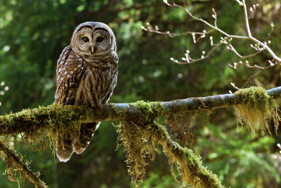 Barred owl Photo: Mint Images - Art Wolfe, Getty Images/Mint Images RM / Mint Images RM