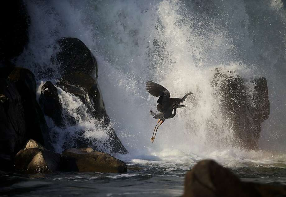 A Great Blue Heron takes flight at the base of the Willamette Falls Saturday morning, June 29, 2013, in Oregon City, Ore.    (AP Photo/The Oregonian, Thomas Boyd) Photo: Thomas Boyd, Associated Press