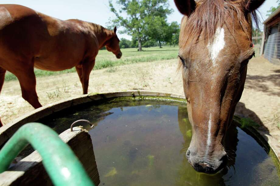 A horse named Krisy, left, walks away as horse named Cowboy drinks from a well fed water trough on the Half Circle O Ranch Friday, June 28, 2013, in Sealy.  Mary Chandler's family has been on the land since 1885. Farmers and ranchers in Austin and Waller counties are fighting a private company's plans to pump 20 million gallons of water a day from the aquifer beneath them and send it to the growing Fort Bend County suburbs. Opponents are worried about the availability of water, as well as subsidence. Mary Chandler is worried about losing her water and subsidence if the the permits are granted. Photo: Melissa Phillip, Houston Chronicle / © 2013  Houston Chronicle