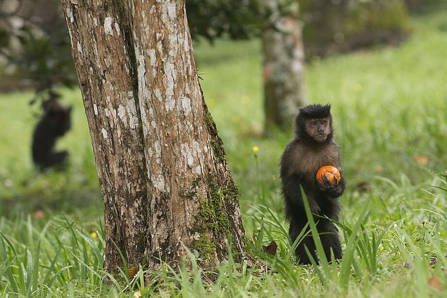 Somber southpaw:This howler monkey looks a lot like Jeremy Affeldt after giving up an eighth inning home run. (Botanic Garden of Rio de Janeiro.) Photo: Pablo Porciuncula, AFP/Getty Images