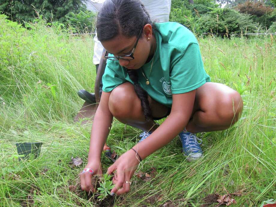 Merlyn Tejada, a member of Darien High School's Eco-Citizens Club, plants lupine flowers at Nearwater Meadow as part of a project with the Darien Land Trust on June 18. Photo: Contributed Photo