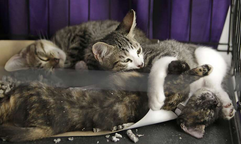 Fur pile: However, shelter kittens have the advantage of being able to sleep on top of each other. (Bow Wow Meow Luau adoption event at CityCentre, Houston.) Photo: Melissa Phillip, Houston Chronicle