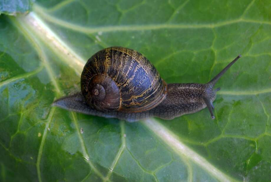 Stage night and early morning raids on garden snails now to reduce damage to plants later in the season. Photo: Pam Peirce, Special To The Chronicle