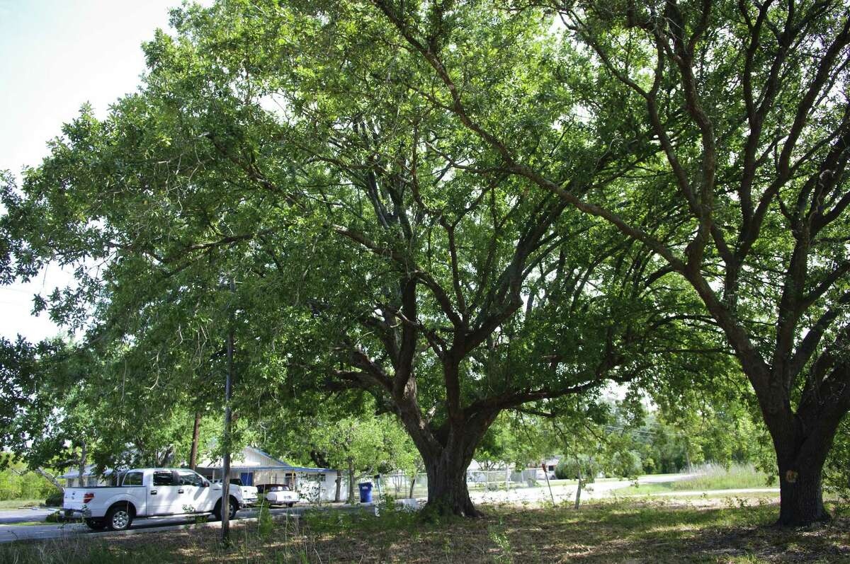 This is the Ghirardi Compton Oak in September 2011 at Louisiana and FM 518 in League City.This is the Ghirardi Compton Oak in September 2011 at Louisiana and FM 518 in League City.