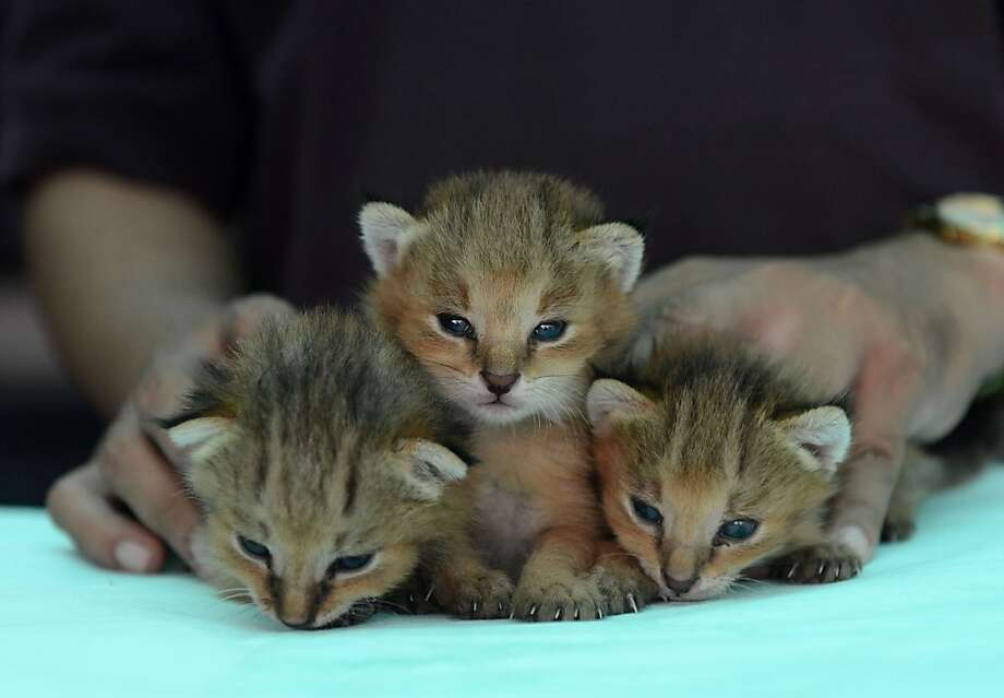 When you need your cute in triplicate:The Asha Foundation animal shelter in Ahmedabad, India, is caring for these Jungle Lynx kittens, which were rescued after apparently being orphaned or abandoned in the village of Dabhoda. Photo: Sam Panthaky, AFP/Getty Images