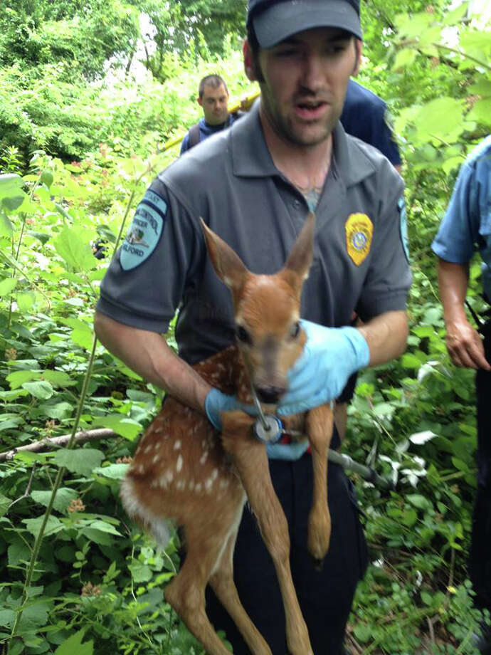 Milford firefighters rescued a fawn that fell into an abandoned swimming pool. Photo: Contributed Photo / Connecticut Post Contributed