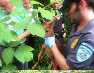 Milford firefighters rescue fawn - Connecticut Post