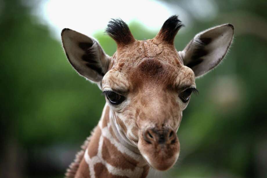 BROOKFIELD, IL - JULY 02:  A giraffe calf, born June 21, roams the enclosure at Brookfield Zoo on July 2, 2013 in Brookfield, Illinois. The giraffe's father, Hasani, 4, is on breeding loan to the zoo from Lee Richardson Zoo in Garden City, Kansas. Hasani is also the father of Dave, a giraffe born at Brookfield Zoo in November.  Giraffe numbers have declined 40 percent in the last decade.  (Photo by Scott Olson/Getty Images) ORG XMIT: 172821744 Photo: Scott Olson, Getty / 2013 Getty Images