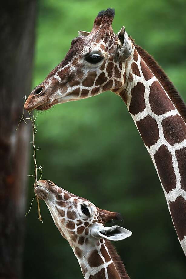 Well, that's the end of that tree … The Brookfield Zoo's giraffes - Dave (left) and an unidentified adult - have big appetites. (Brookfield, Ill.) Photo: Scott Olson, Getty Images