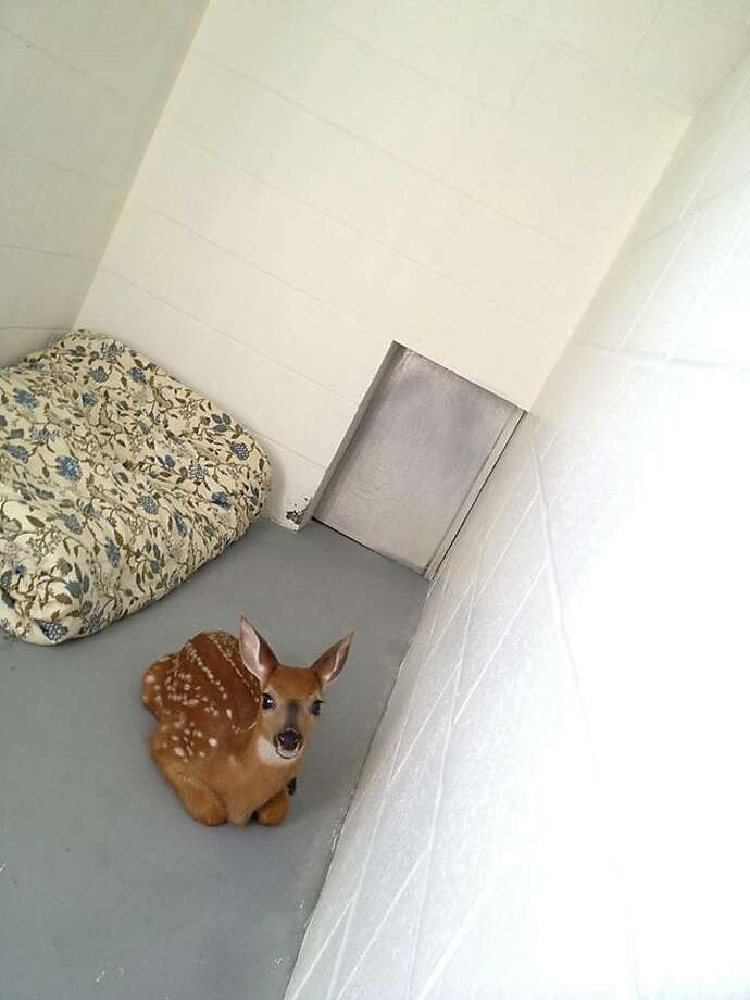 Much more comfortable than the forest: Firefighters in Milford, Conn., rescued a fawn that 