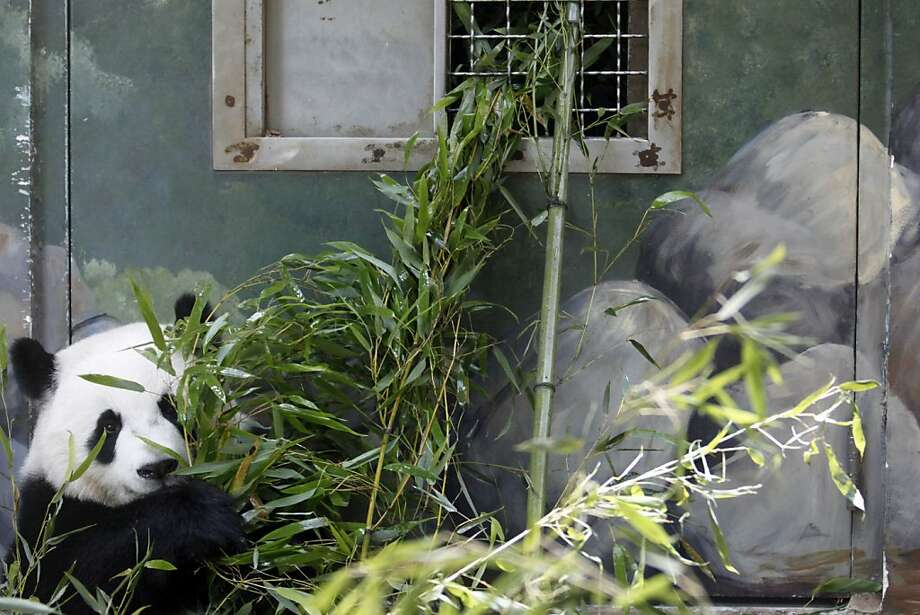 It's kind of hard to hide behind the rocks: At Zoo Atlanta, shy 2-year-old Po hides behind bamboo until he gets hungry and eats his cover. Photo: Jaime Henry-White, Associated Press