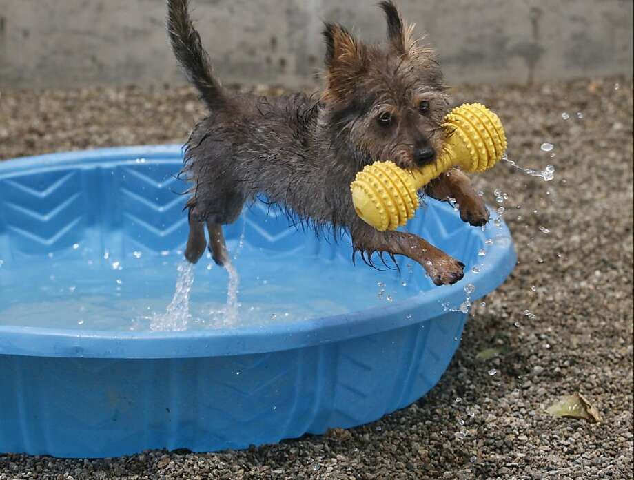 Pool aerobics are more effective if you use weights: A dumbbell helps Howley the terrier 