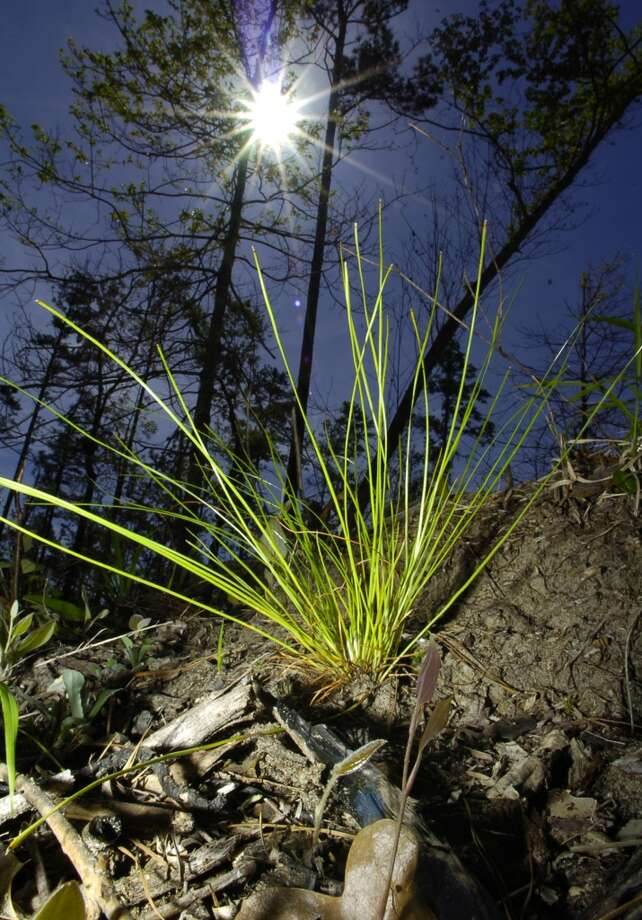 This baby long leaf pine, recently planted and in the grass stage of growth, will take up to 25 years to reach maturity.  Foresters have planted longleaf pine trees at Village Creek State Park near Lumberton. The native pines once dominated East Texas but now compose only 2 percent of the region's forests. Dave Ryan/The Enterprise